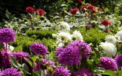 Dahlia Growers Join Forces for the First Holland Dahlia Event