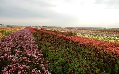 Positive Market Reactions to the First Holland Dahlia Event