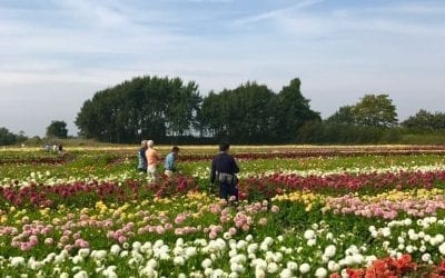 Holland Dahlia Event 2020 in angepasster Form