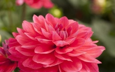 Das vierte Holland Dahlia Event!