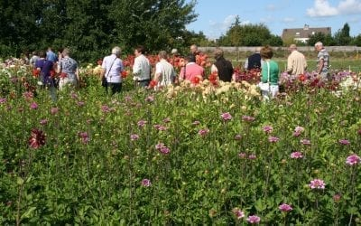 Holland Dahlia Event succeeds in quality and number of visitors