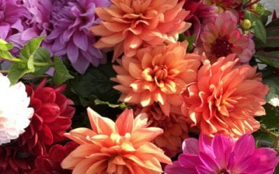 Vierte Ausgabe Holland Dahlia Event in den Risern