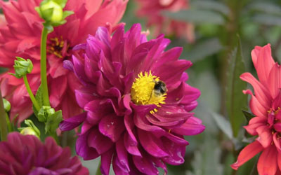 A special insight into a private garden of a dahlia lover